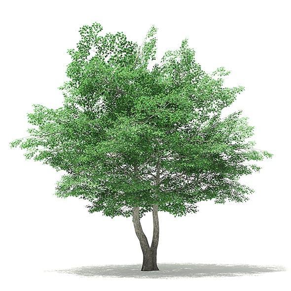 Tulip Tree 3D Model 7m - 3DOcean Item for Sale