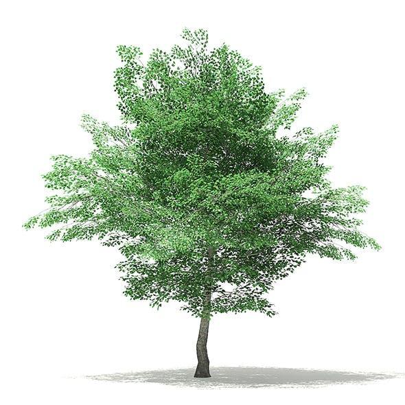 Tulip Tree 3D Model 7.8m
