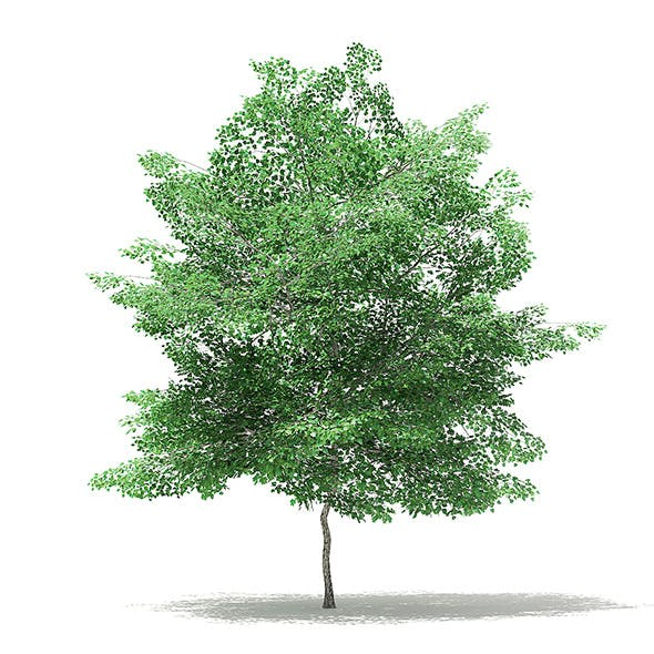 Tulip Tree 3D Model 7m - 3DOcean Item for Sale