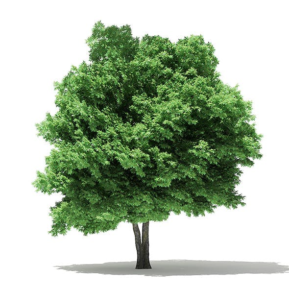 Silver Maple 3D Model 10m - 3DOcean Item for Sale