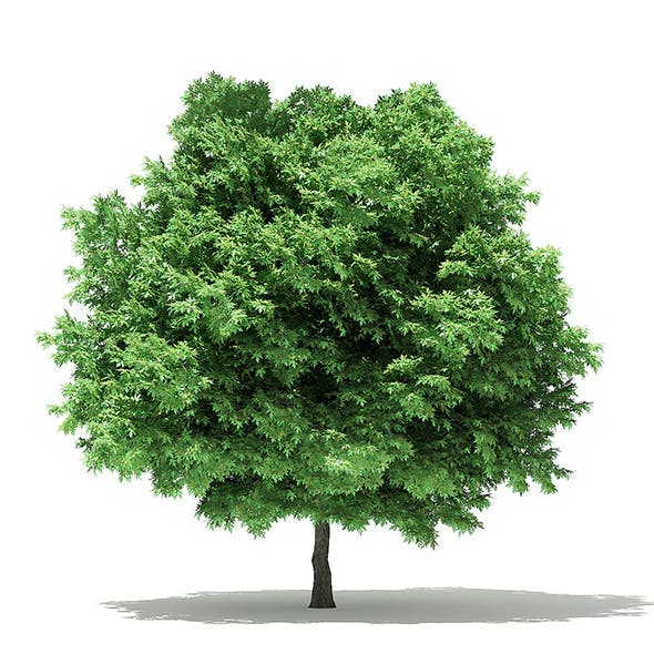 Silver Maple 3D Model 6.5m - 3DOcean Item for Sale