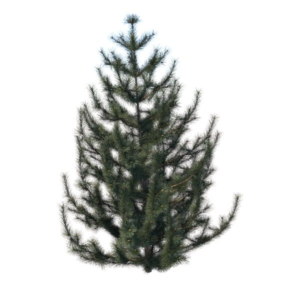 spruce tree - 3DOcean Item for Sale