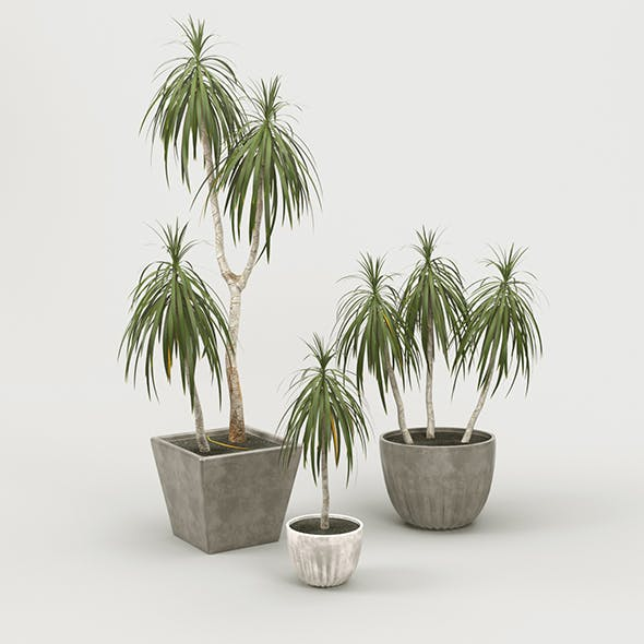 Palm Dracena Marginata - 3DOcean Item for Sale