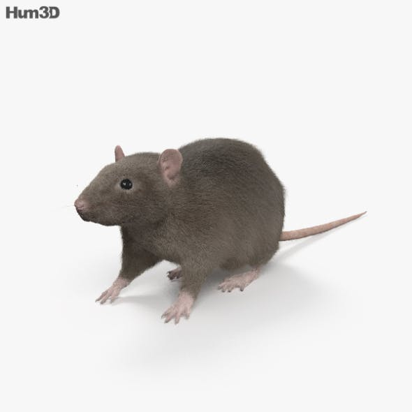 Common Rat HD - 3DOcean Item for Sale