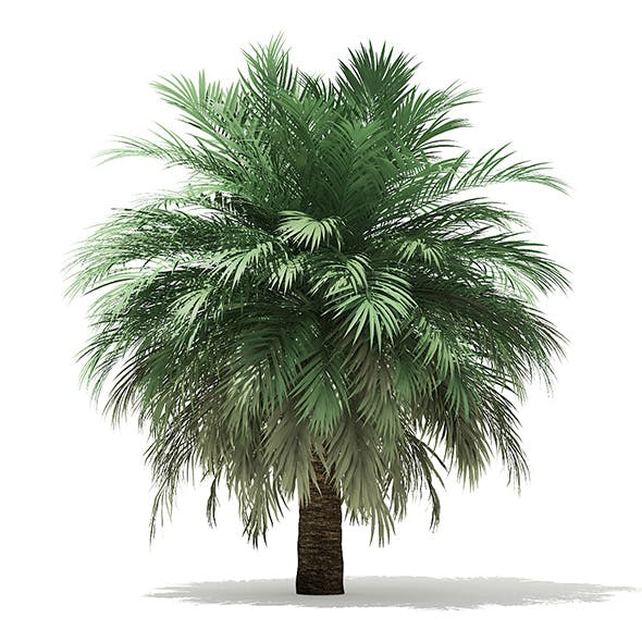 Butia Palm Tree 3D Model 4m - 3DOcean Item for Sale