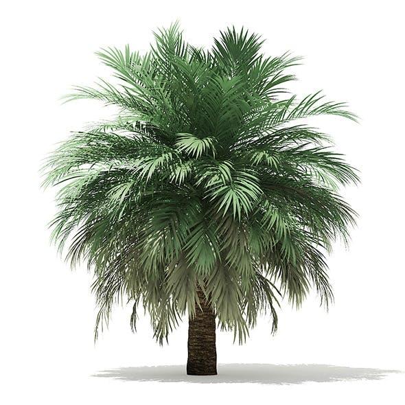 Butia Palm Tree 3D Model 4m