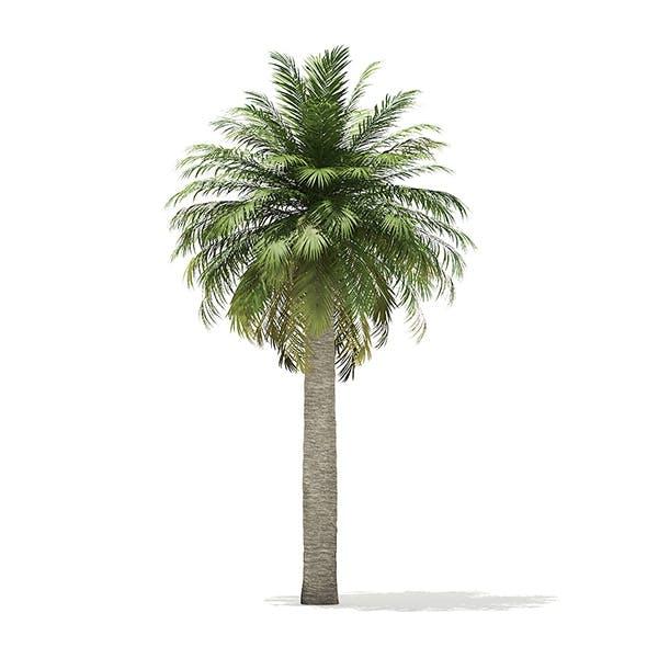 Chilean Wine Palm 3D Model 8m - 3DOcean Item for Sale