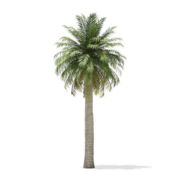 Chilean Wine Palm 3D Model 9.7m