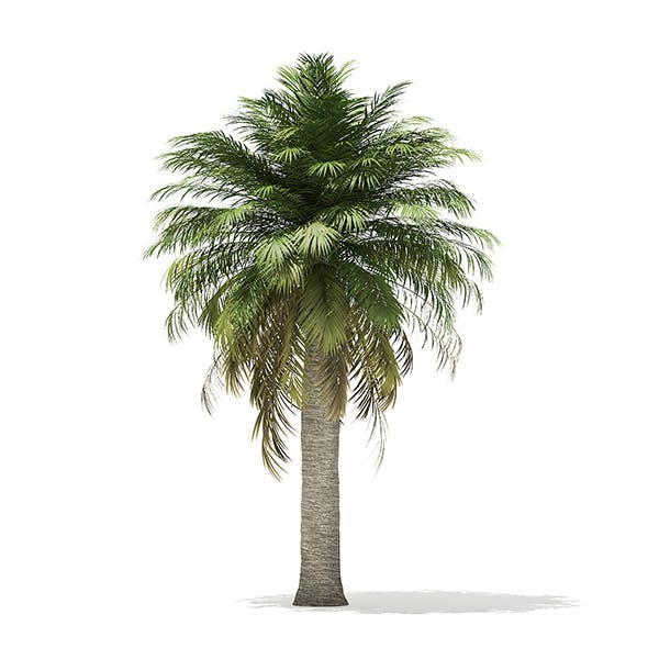 Chilean Wine Palm 3D Model 7.2m - 3DOcean Item for Sale