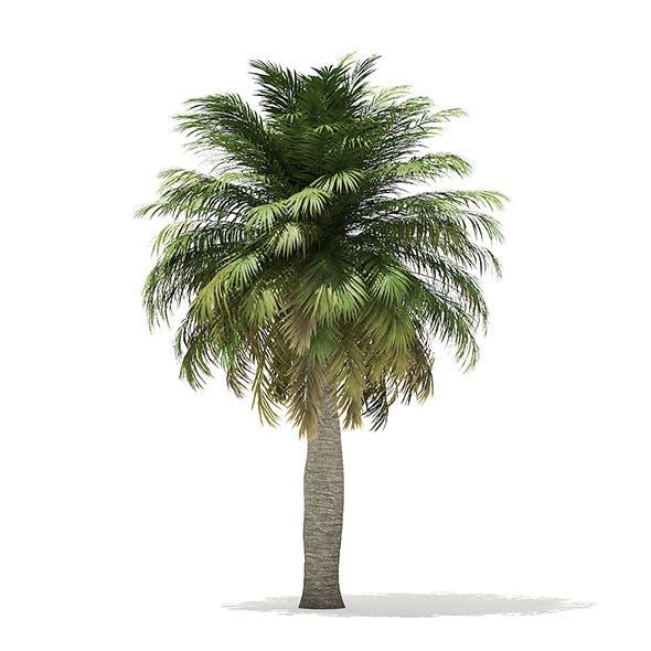 Chilean Wine Palm 3D Model 6.9m