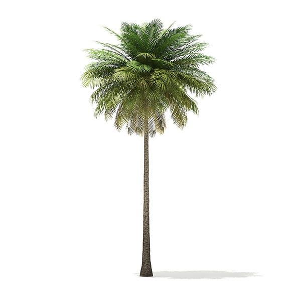 Coconut Palm Tree 3D Model 10.4m