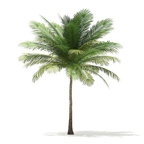 Coconut Palm Tree 3D Model 6m - 3DOcean Item for Sale