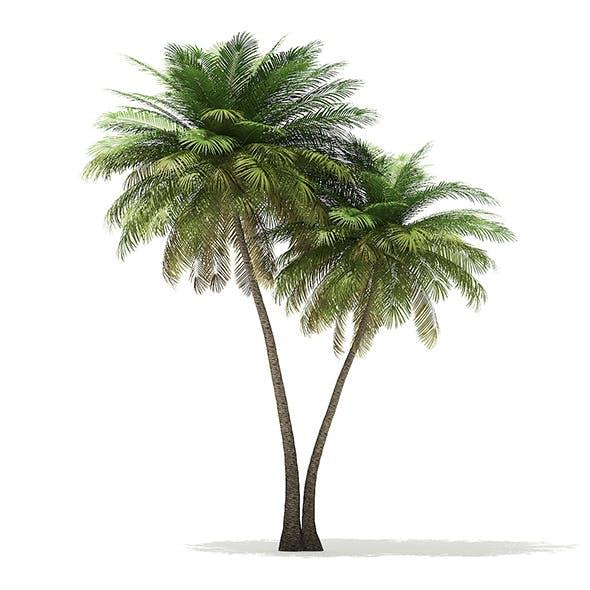 Coconut Palm Tree 3D Model 9.5m