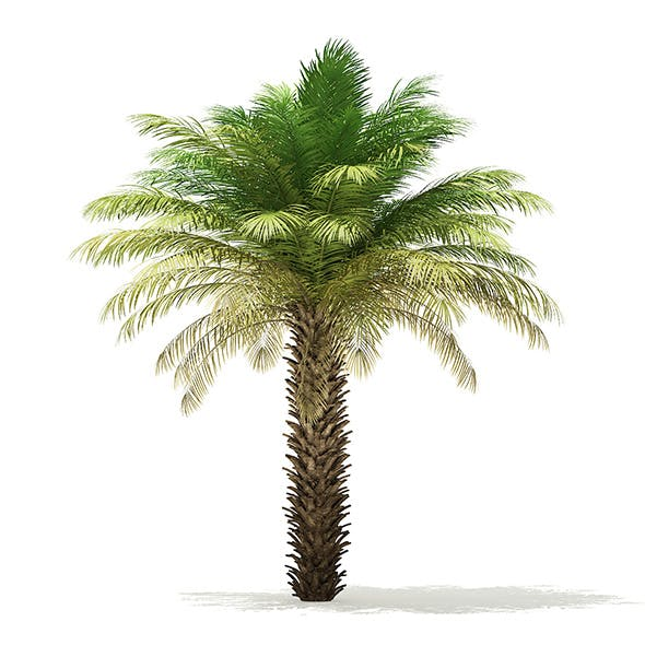 Date Palm Tree 3D Model 5m - 3DOcean Item for Sale