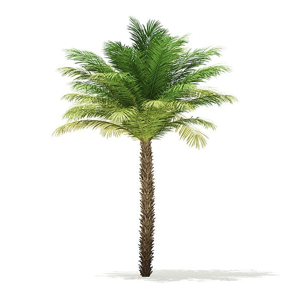 Date Palm Tree 3D Model 5m