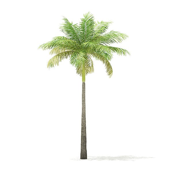 Bottle Palm Tree 3D Model 6.4m - 3DOcean Item for Sale