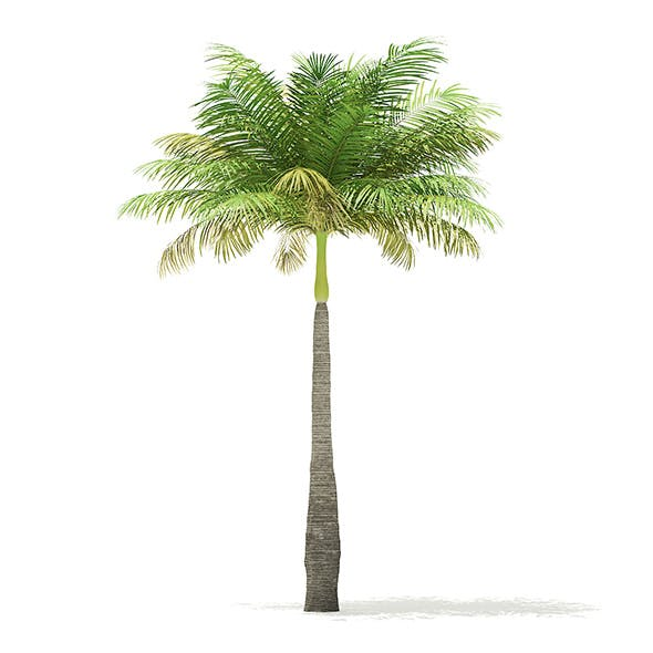 Bottle Palm Tree 3D Model 5.2m