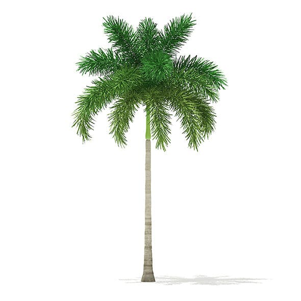 Foxtail Palm Tree 3D Model 7.8m