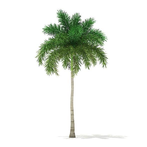 Foxtail Palm Tree 3D Model 9.8m