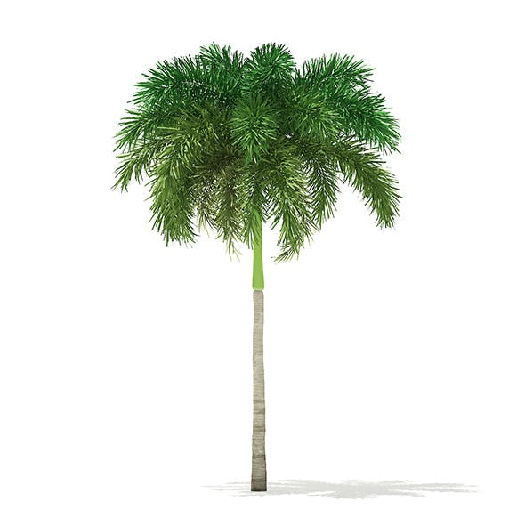 Foxtail Palm Tree 3D Model 7.4m - 3DOcean Item for Sale
