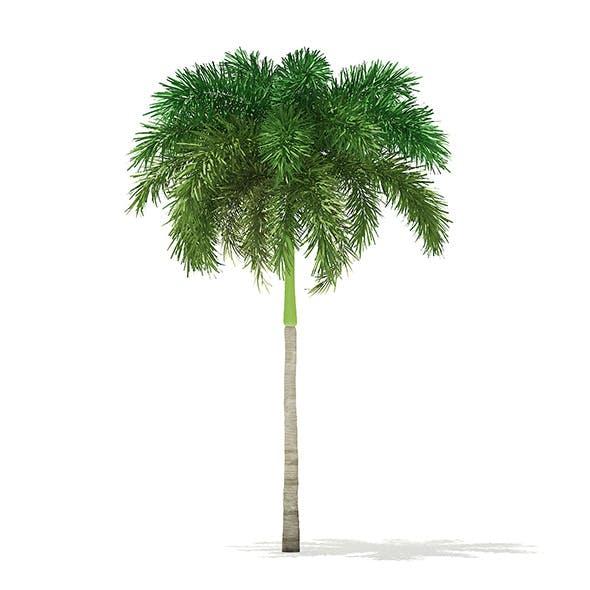 Foxtail Palm Tree 3D Model 7.4m