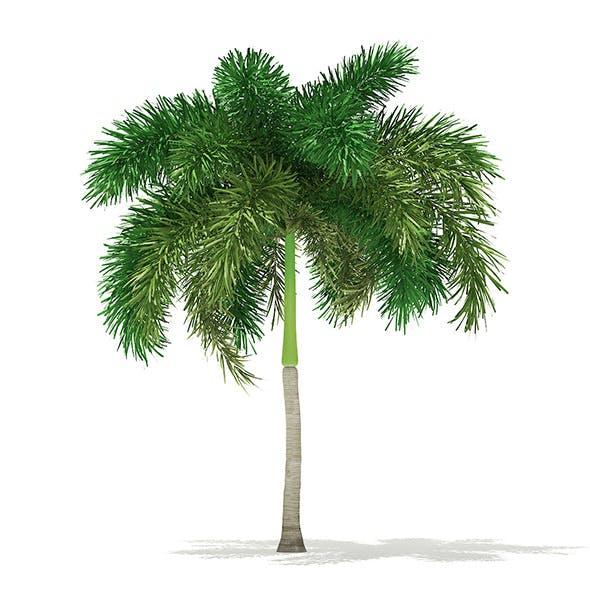 Foxtail Palm Tree 3D Model 6.2m