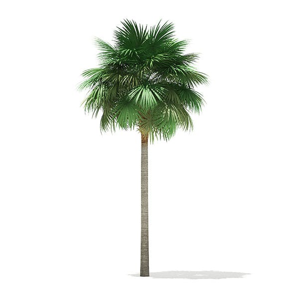 Sabal Palm Tree 3D Model 10.8m