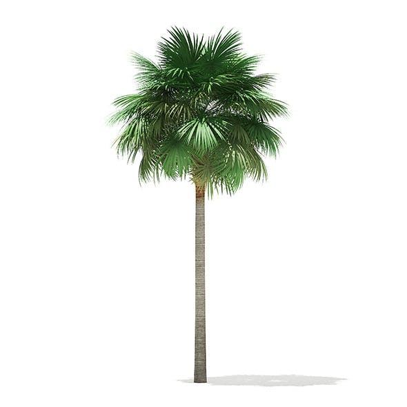 Sabal Palm Tree 3D Model 10.8m