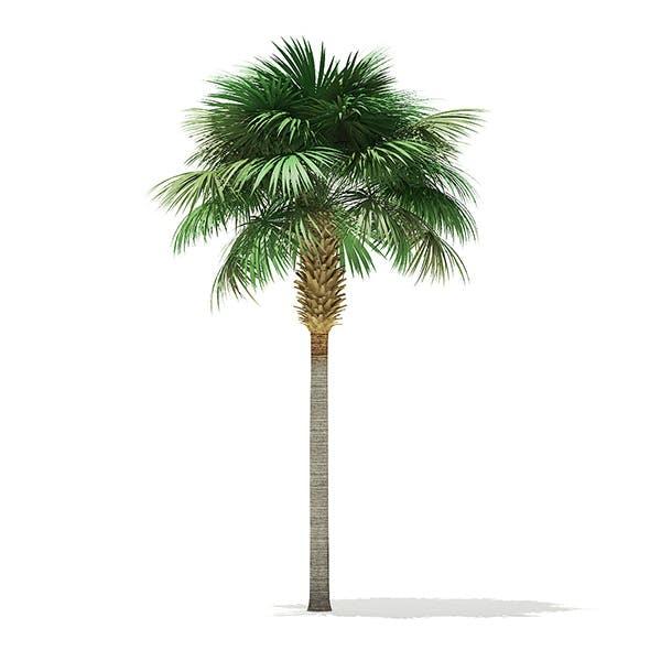 Sabal palm tree - 3DOcean Item for Sale