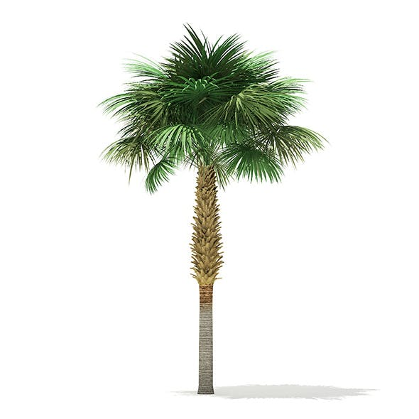 Sabal Palm Tree 3D Model 7.8m