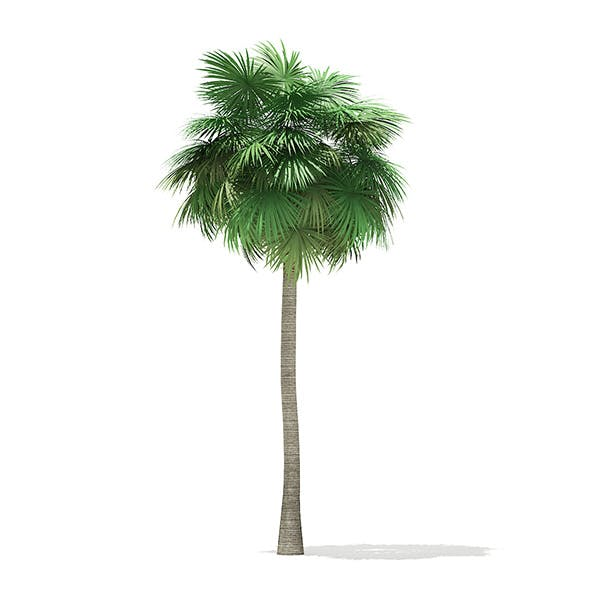 Sabal Palm Tree 3D Model 12m - 3DOcean Item for Sale