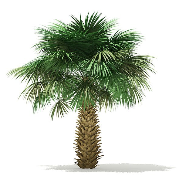 Sabal Palm Tree 3D Model 4m - 3DOcean Item for Sale