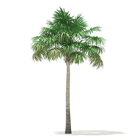 Thatch Palm Tree 3D Model 7.8m - 3DOcean Item for Sale