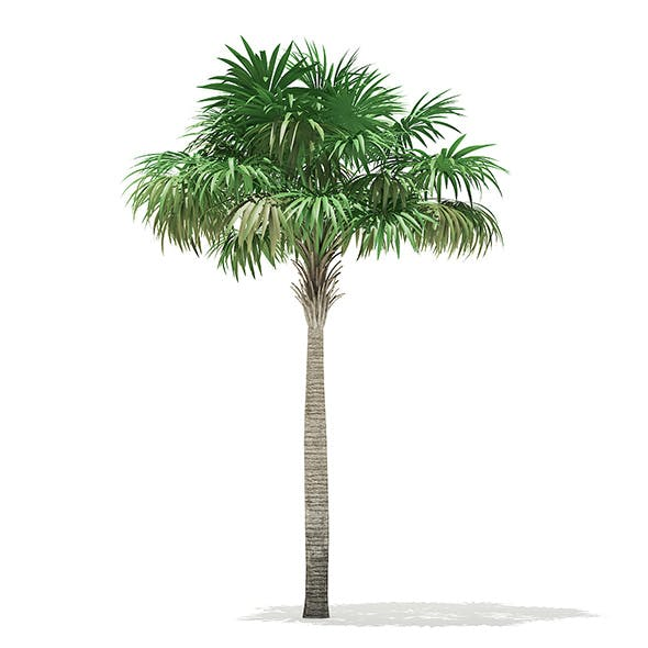 Thatch Palm Tree 3D Model 7m