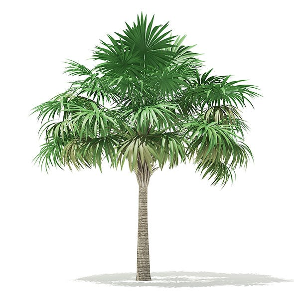 Thatch Palm Tree 3D Model 5.7m - 3DOcean Item for Sale