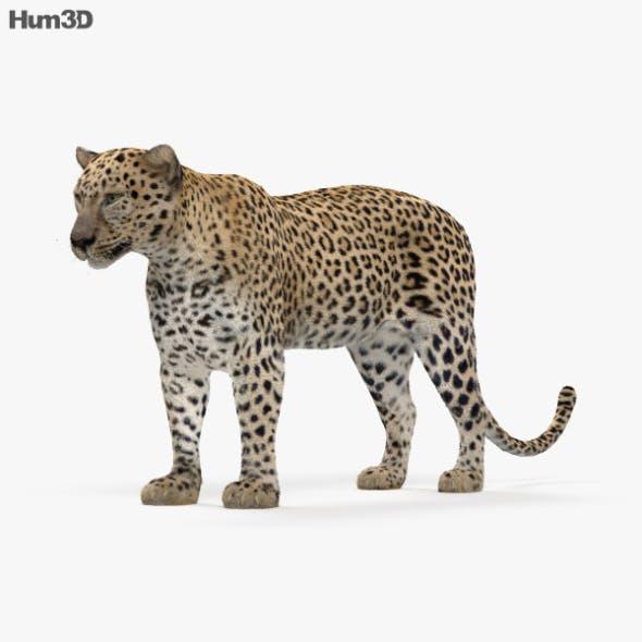 Leopard HD - 3DOcean Item for Sale