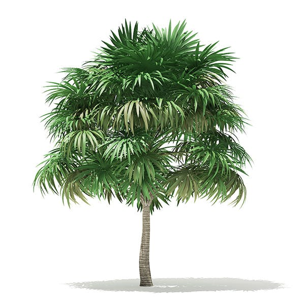 Thatch Palm Tree 3D Model 5.8m - 3DOcean Item for Sale