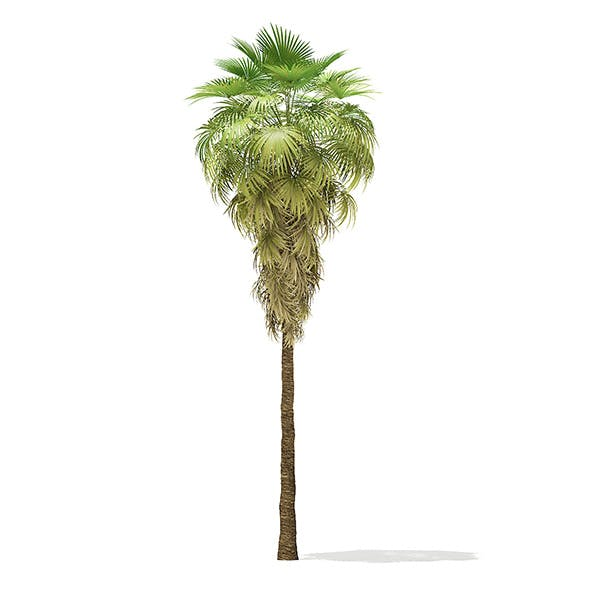 California Palm Tree 3D Model 11.5m