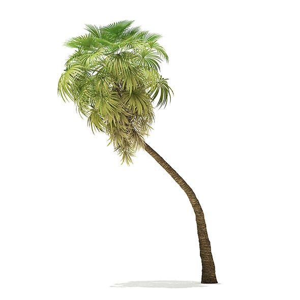 California Palm Tree 3D Model 9.8m