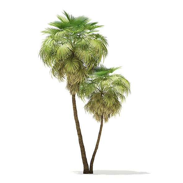 California Palm Tree 3D Model 9.9m