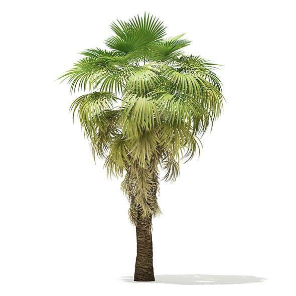 California Palm Tree 3D Model 5.9m - 3DOcean Item for Sale