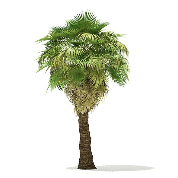 California Palm Tree 3D Model 7m