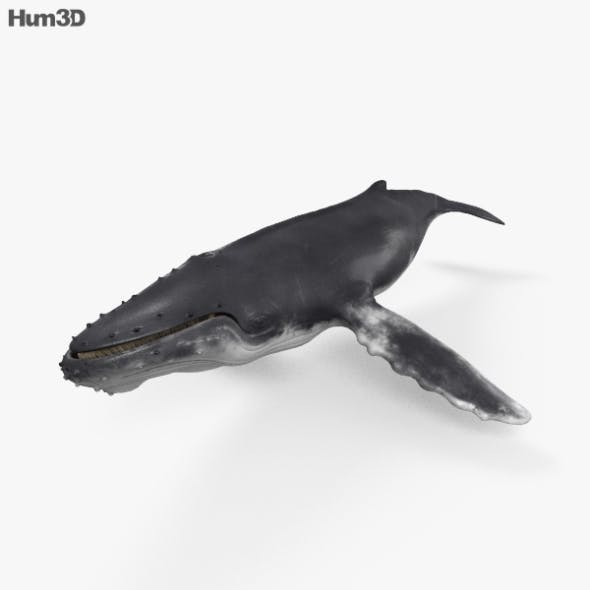 Humpback Whale HD - 3DOcean Item for Sale