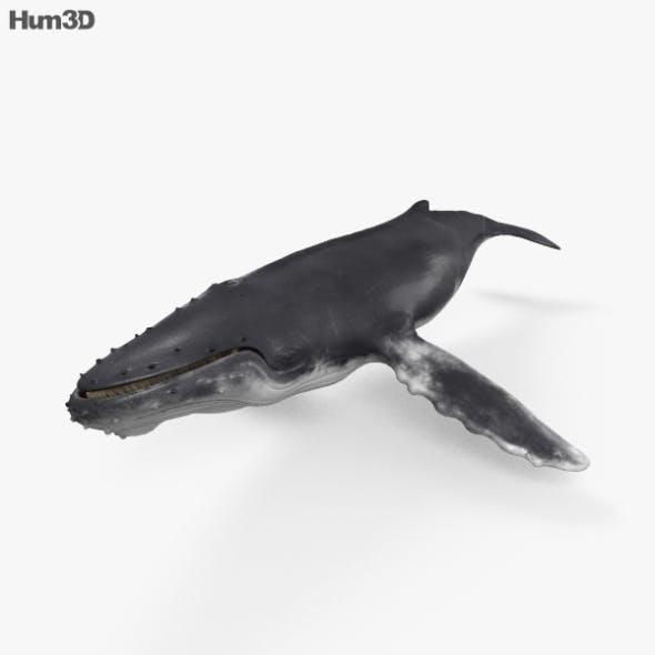 Humpback Whale HD