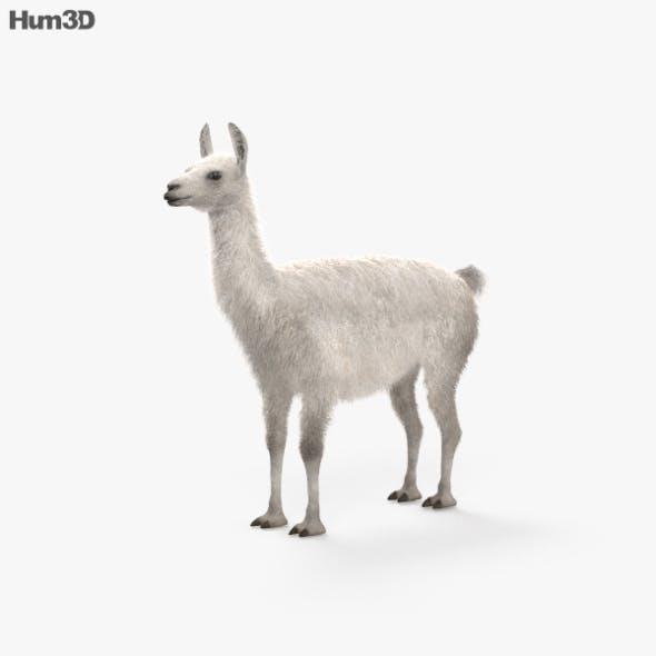 Llama HD - 3DOcean Item for Sale