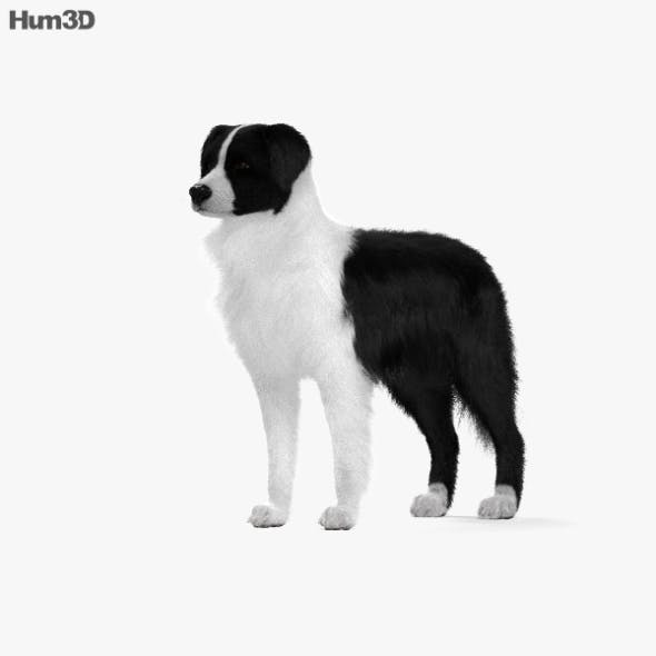 Border Collie HD - 3DOcean Item for Sale