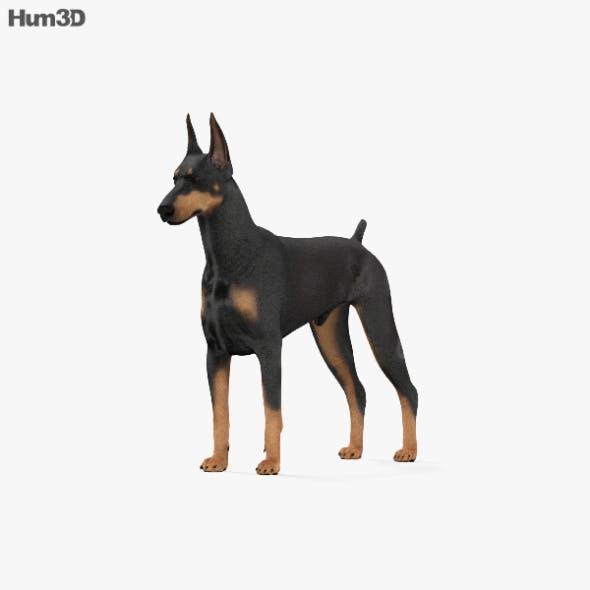 Doberman Pinscher HD - 3DOcean Item for Sale