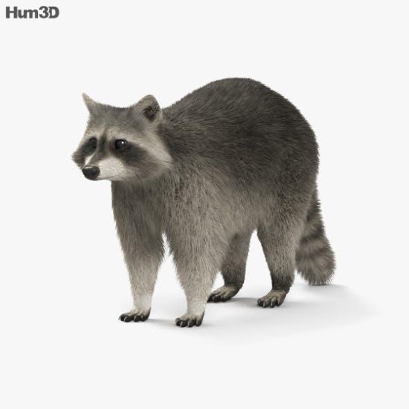 Raccoon HD - 3DOcean Item for Sale