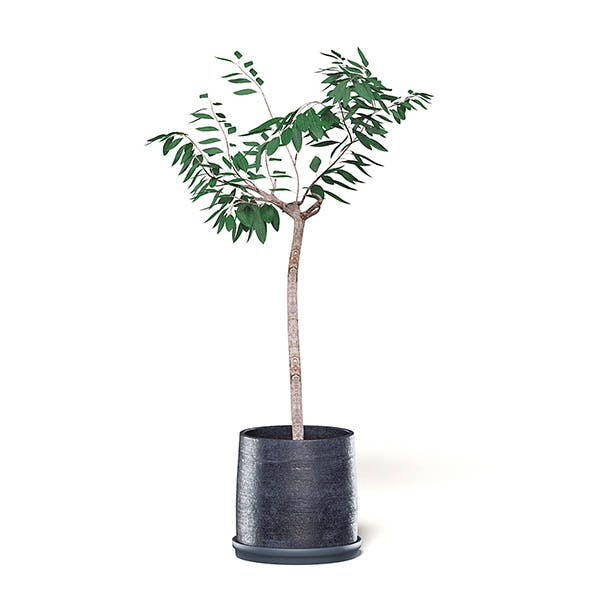 Small Tree 3D Model in Black Pot - 3DOcean Item for Sale