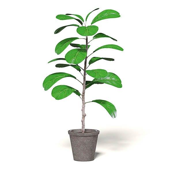 Fig Plant 3D Model in Brown Pot - 3DOcean Item for Sale